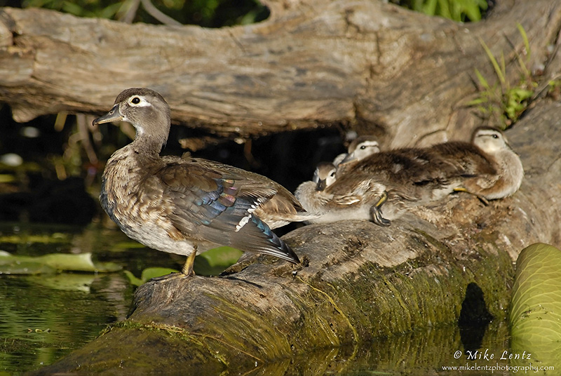 Woodie-with-babies-on-stump