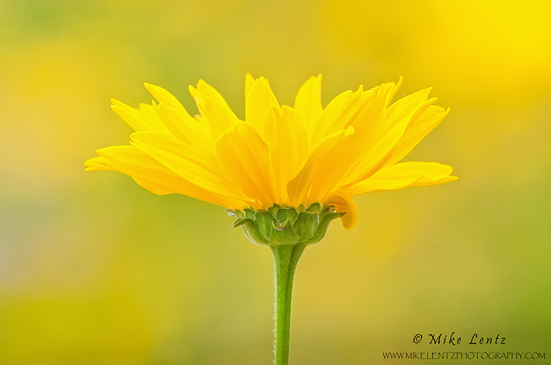 Coreopsis growth in field of yellow