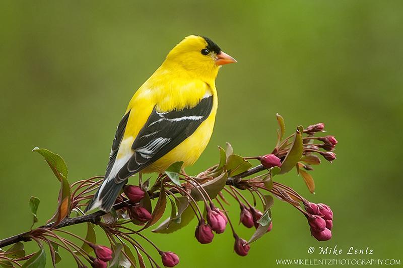Goldfinch on crabapple branch
