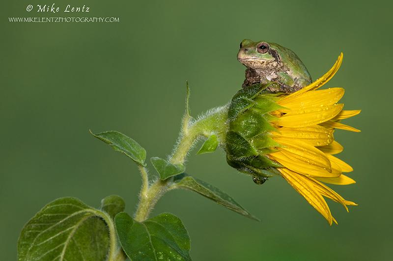 Tree frog on sunflower