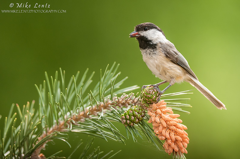 Black-capped chickadee on pine with grub