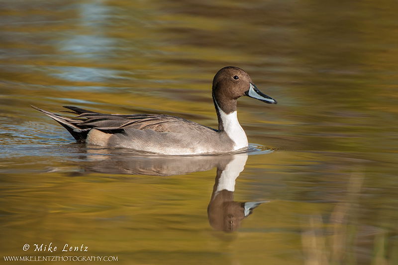 Pintail on golden waters