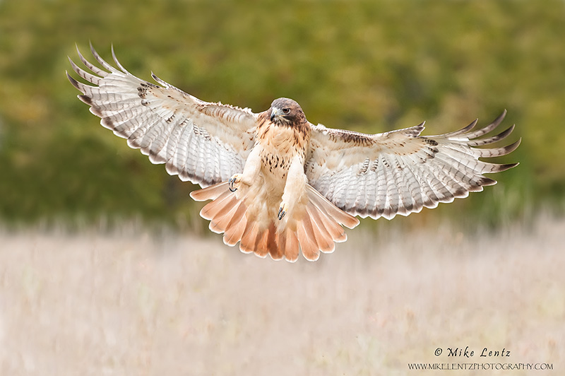 Red-tailed Hawk wings wide