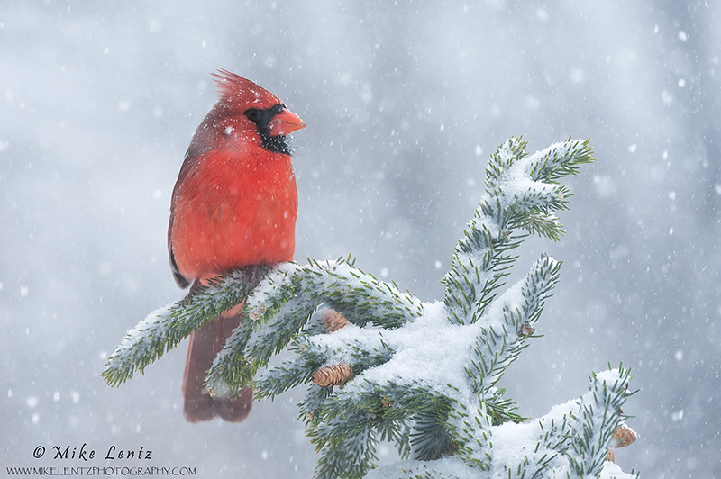 Cardinal in snowstorm
