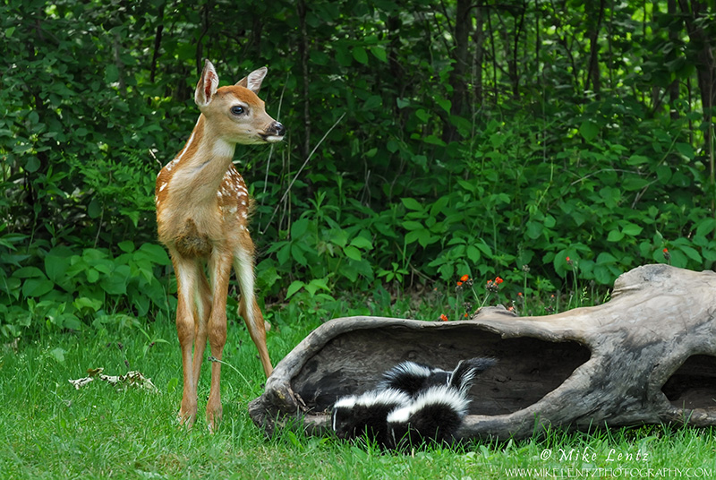 Bambi with two skunks