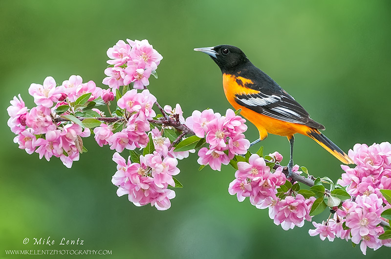 Baltimore Oriole on pink crabapple blossums