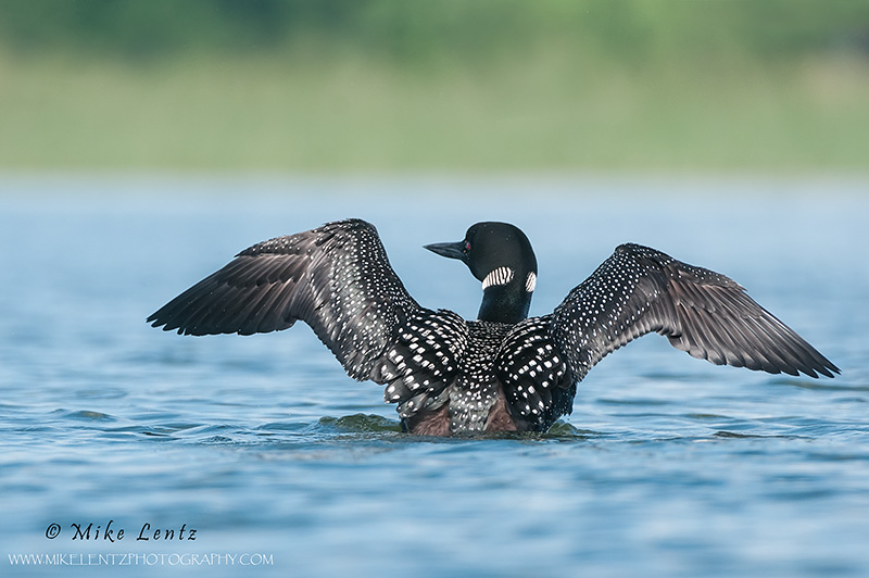 Common Loon wing flap