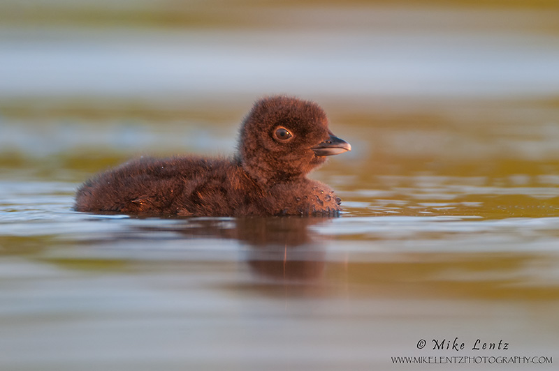 Loon baby in golden late day light
