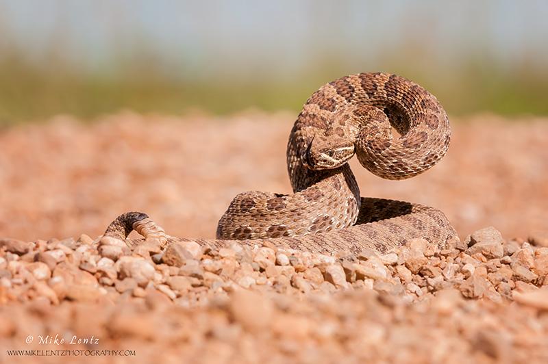Prairie Rattlesnake coiled
