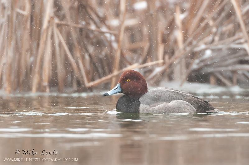 Redhead duck (drake) in snowfall