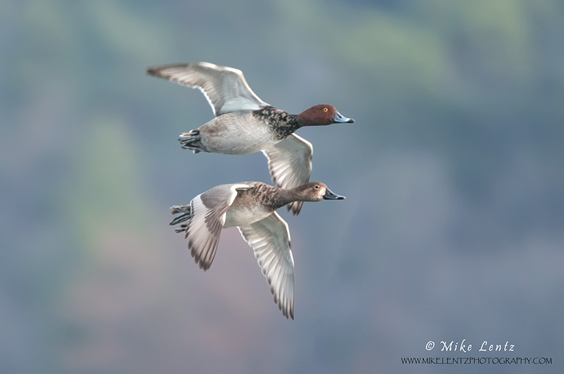 Redheaded ducks paired in flight