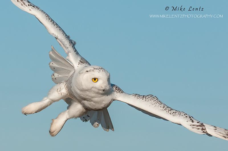 Snowy Owl banking tight