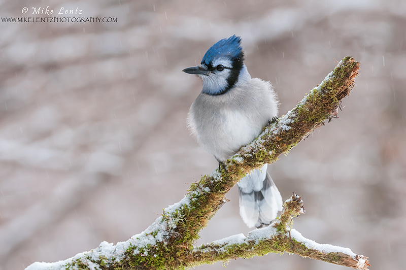 Blue Jay in winter scene