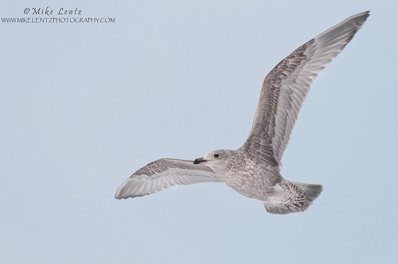 Herring Gull (first cycle)