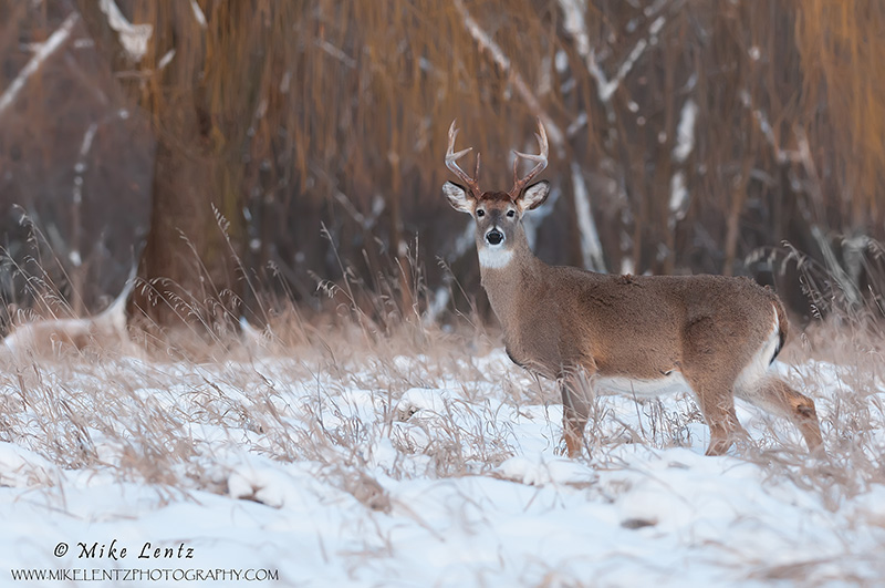 Buck against willow in the snow