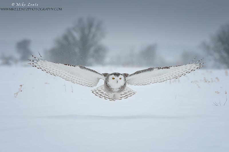 Snowy Owl in a snowfall