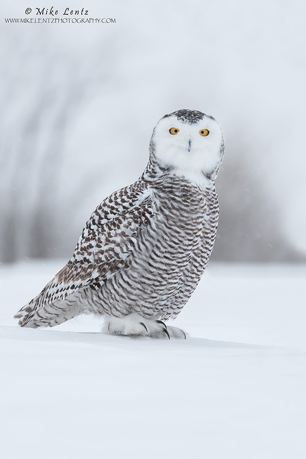 Snowy Owl on a sheet of snow