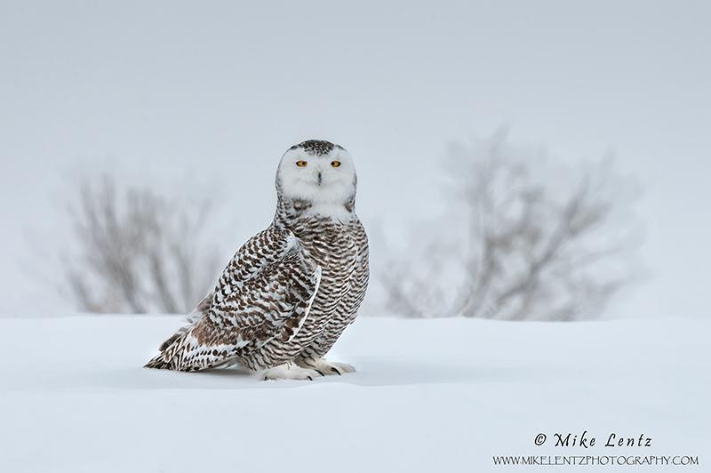 Snowy Owl in winter habitat