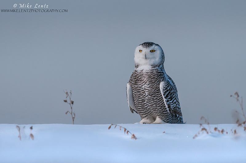 Snowy owl alert on snow shelf