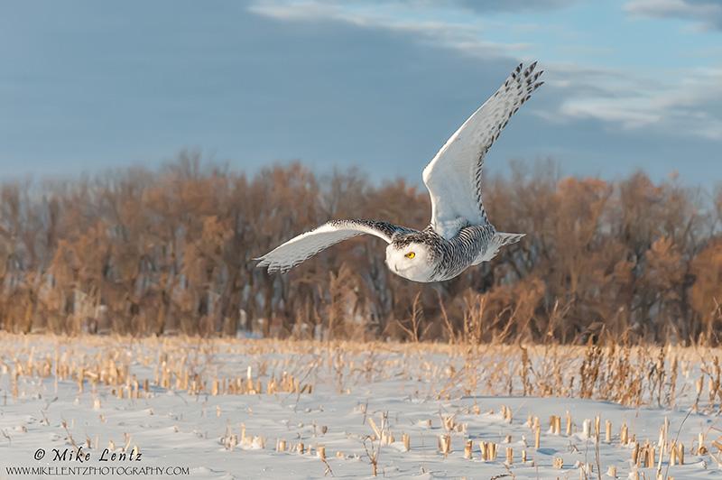 Snowy Owl angled over corn field