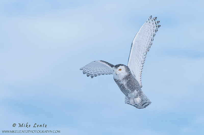 Snowy Owl blue skies flight
