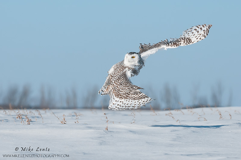 Snowy Owl C bank