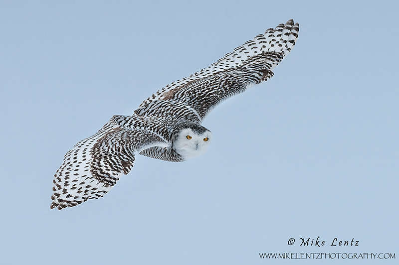 Snowy Owl incoming stare