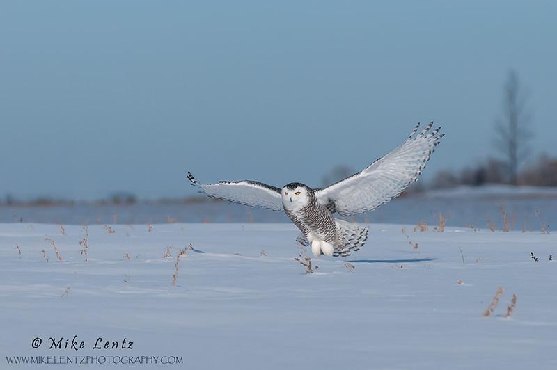 Snowy Owl swoops in habitat