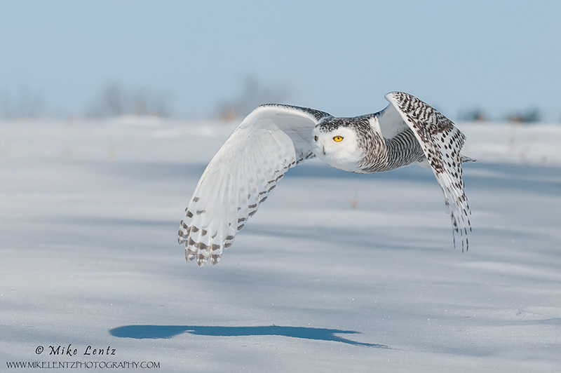 Snowy Owl wings down in flight