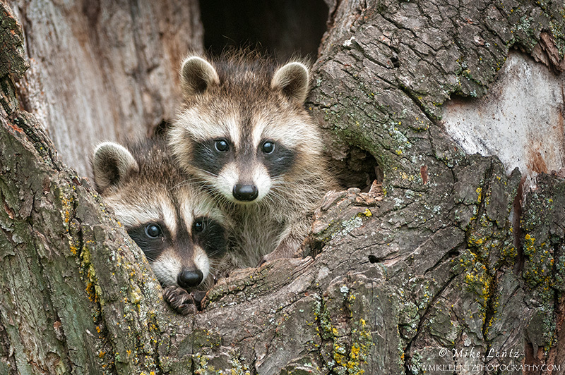 Racoon babies in old stump