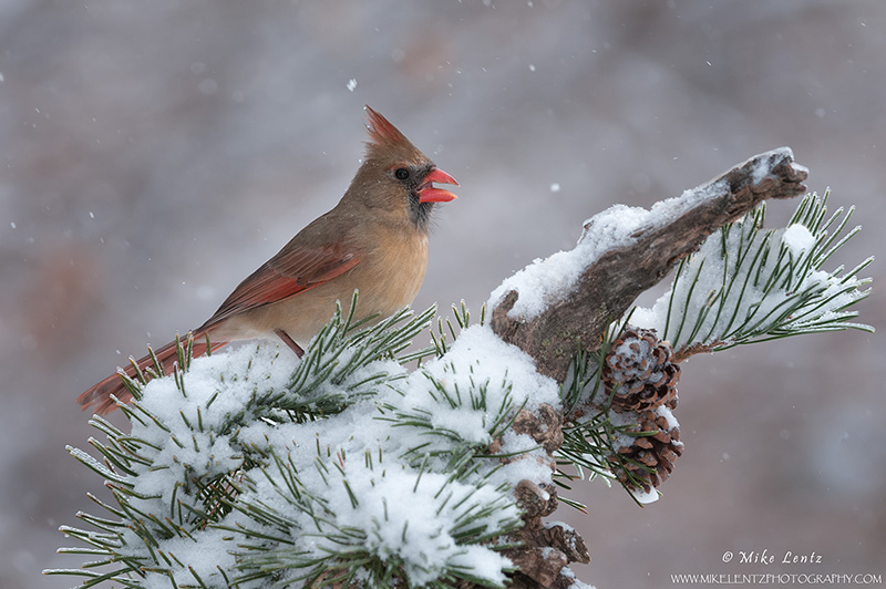 Northern Cardinal (female) on winter pines