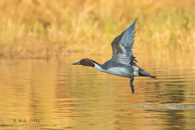 Pintail drake flight on golden waters