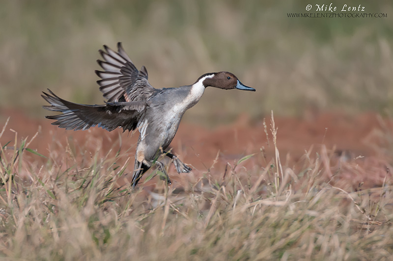 Pintail drake dropping into the field