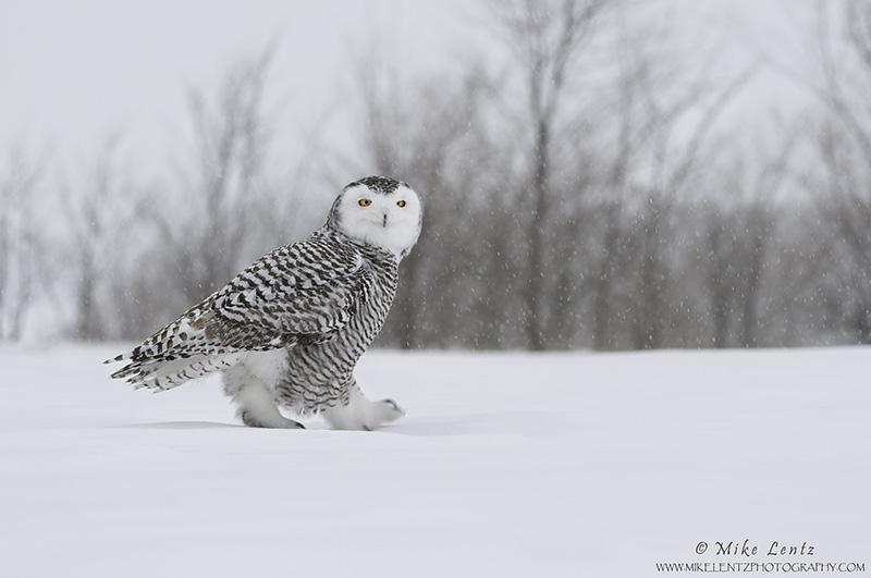 Snowy Owl walking in snowfall