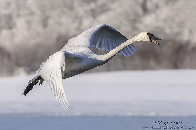 Trumpeter Swanin flight