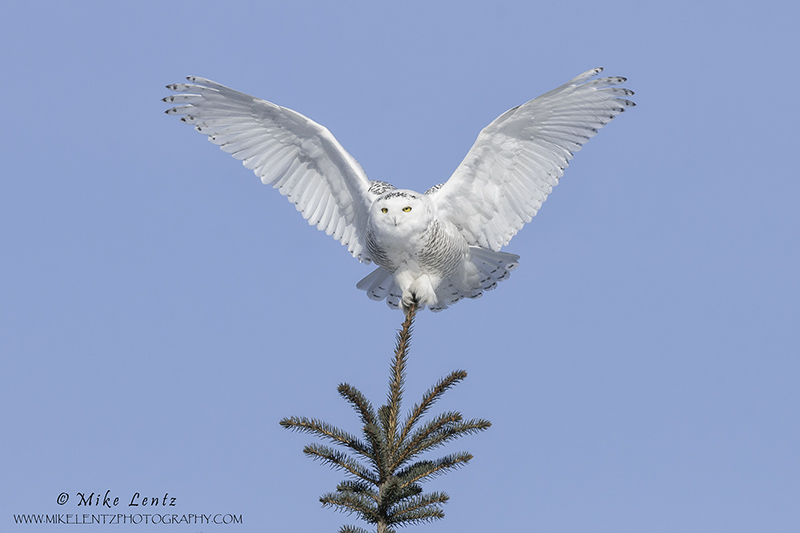Snowy Owl angelic pose on pine
