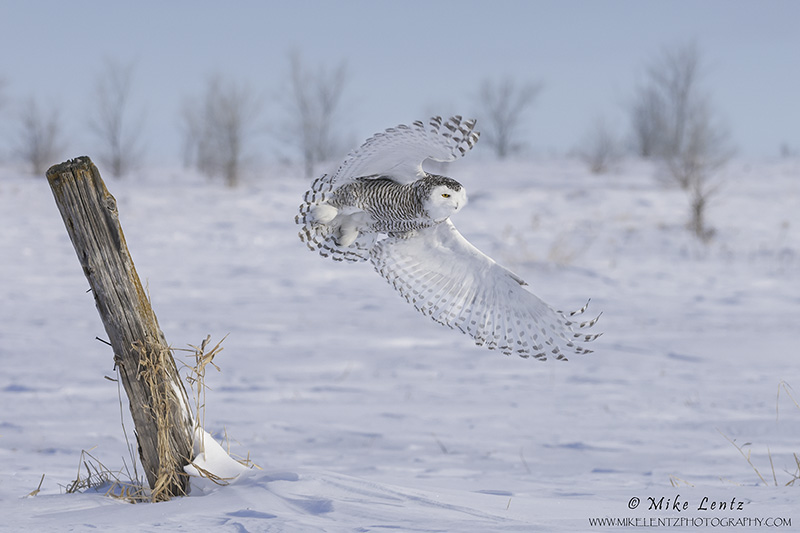 Snowy Owl burst off post sideways