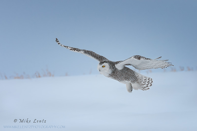 Snowy Owl glides across snow