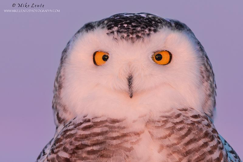 Snowy Owl head shot