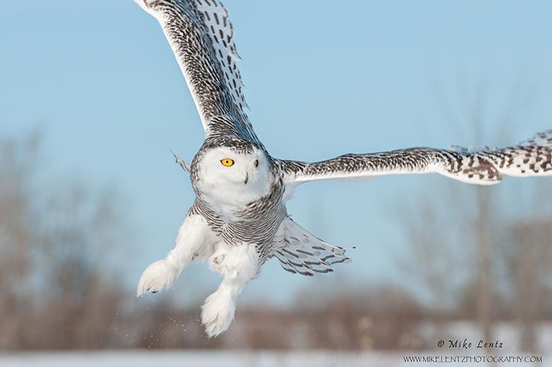 Snowy Owl windswept away