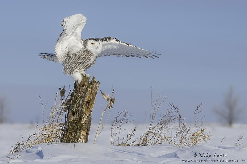 Snowy Owl log wing point