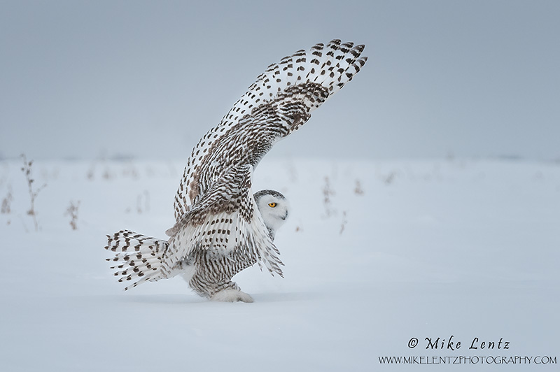 Snowy owl one wing up