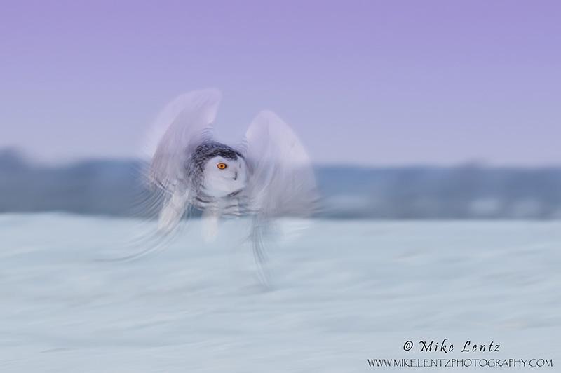 Snowy owl pan blur