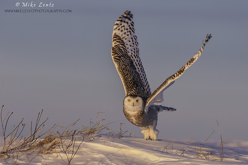 Snowy Owl purple burst