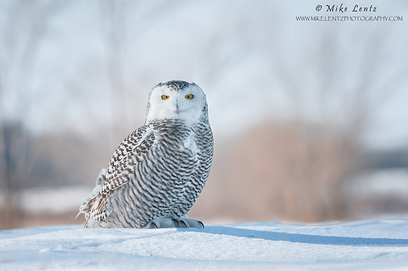 Snowy Owl roosting on snow