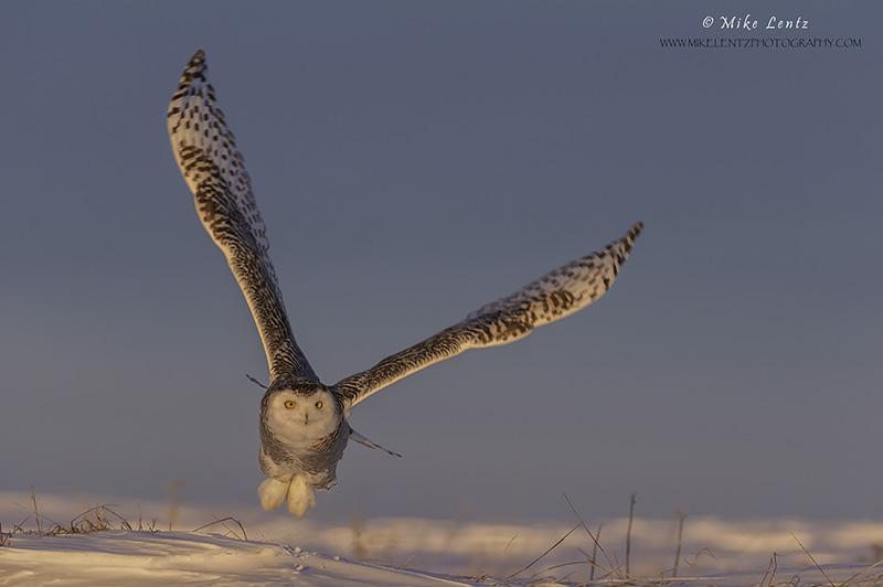 Snowy Owl sunset jump