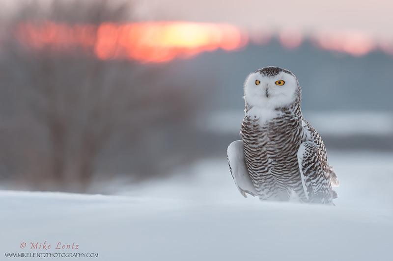 Snowy Owl sunset dreams