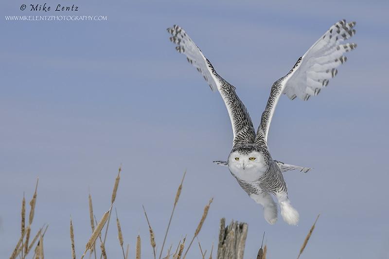 Snowy Owl Cattail burst