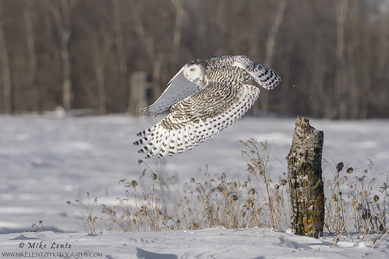 Snowy Owl bails off log