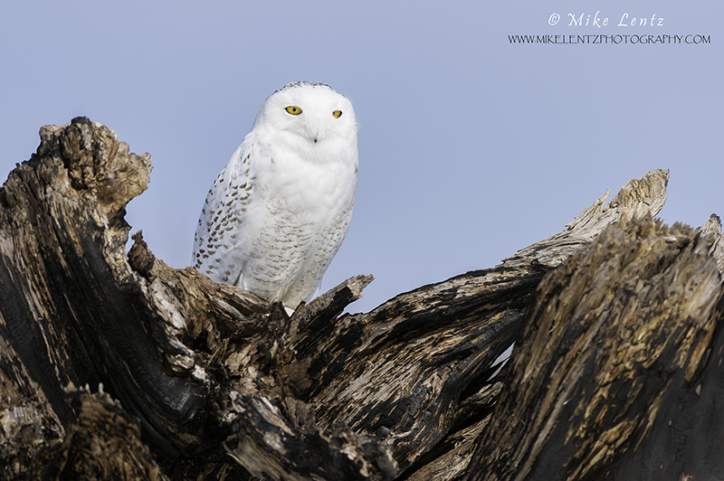 Snowy Owl in curved log